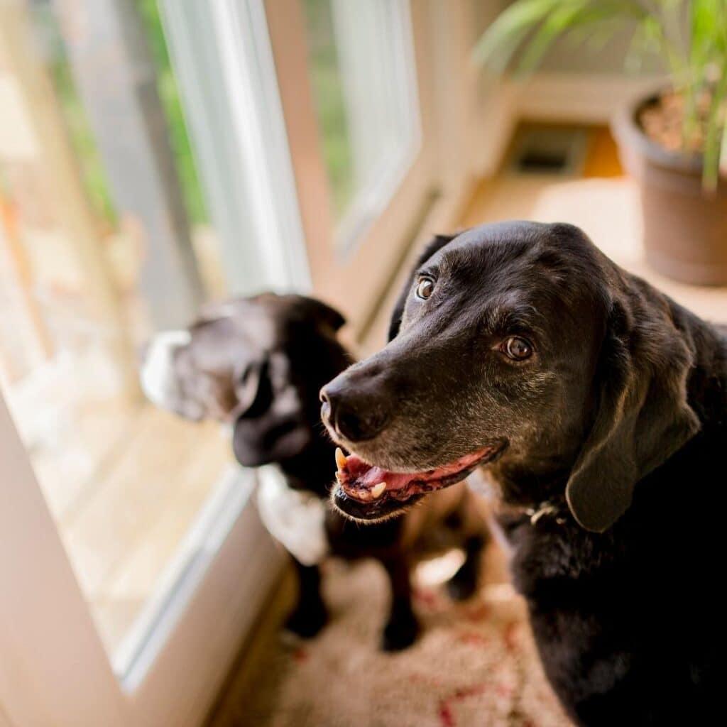 cannbis-Senior-Pets