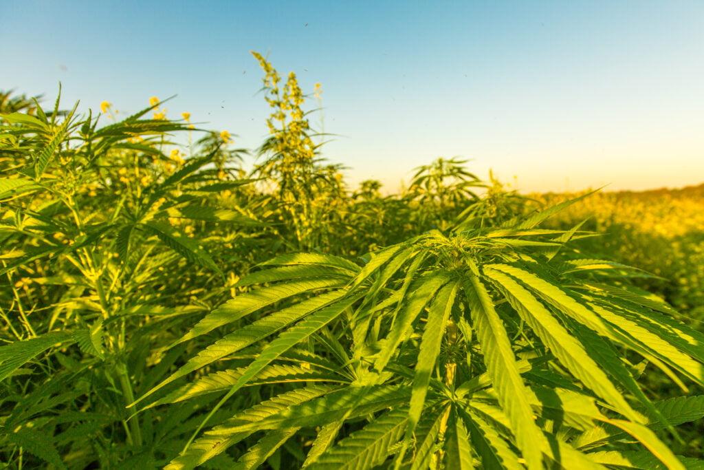 Environmental-benefits-of-hemp
